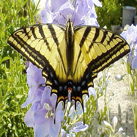 gorgeous yellow and black butterfly