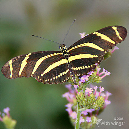 Zebra Longwing Wings Open