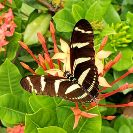 black butterfly with yellow stripes