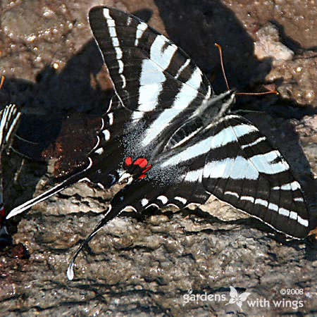 large black and white stripe butterfly with brilliant red marking