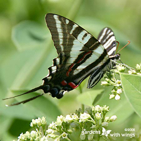 butterfly nectaring on white flower