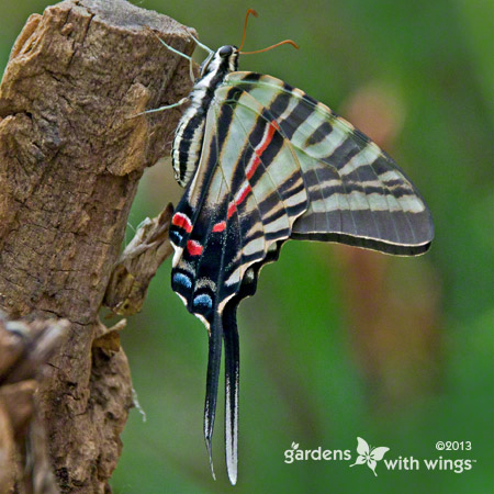 side view of a butterfly with black, white, and red stripes
