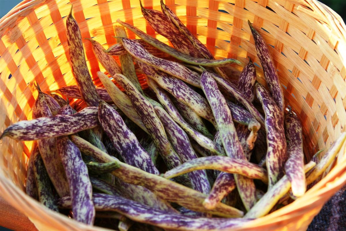 Dragons tongue beans  Garden Therapy