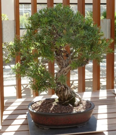 Bonsai at the National Arboretum, Canberra