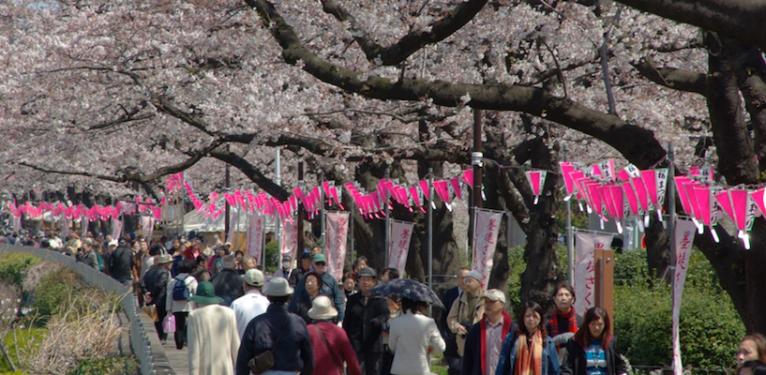 Crowds enjoying cherry blossom