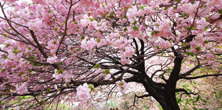 Cherry Tree in full blossom