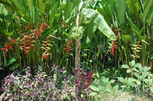 Colourful heliconia