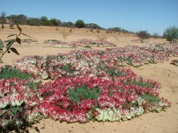 Wildflowers of Western Australia2