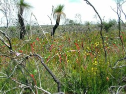 Wildflowers of Western Australia3