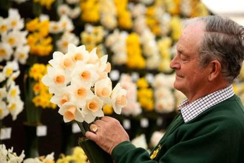 Exhibitor-preparing-daffodil-display-the-RHS-Show-Cardiff-2012_MAR0006251