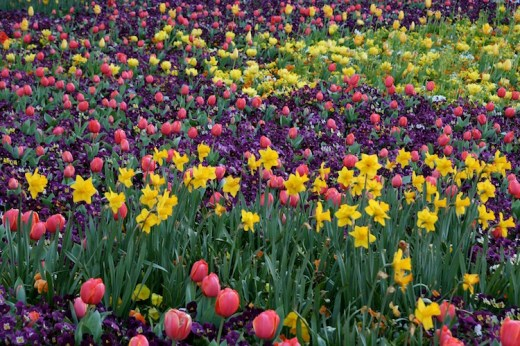 Stunning colour combinations at Canberra's Floriade