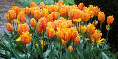 Tulips in South Cottage Garden Sissinghurst