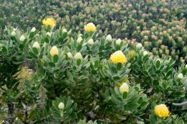 Proteas at Cape Point. Photo Katherine Longhurst