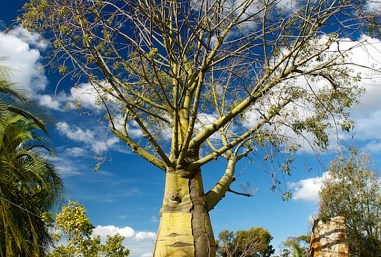 Brachychiton rupestris (Queensland Bottle Trees) at Royal Botanic Gardens Cranbourne