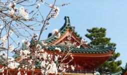 Sakura - cherry blossom in Japan