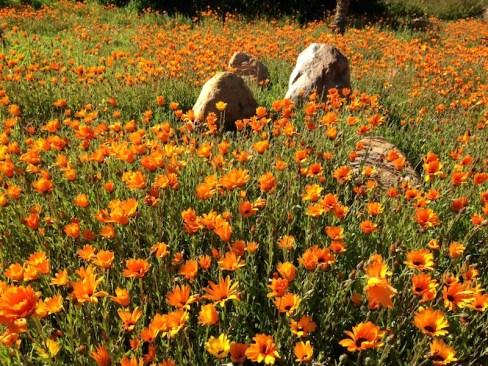 African Arctotis daisies Photo Leon Kluge
