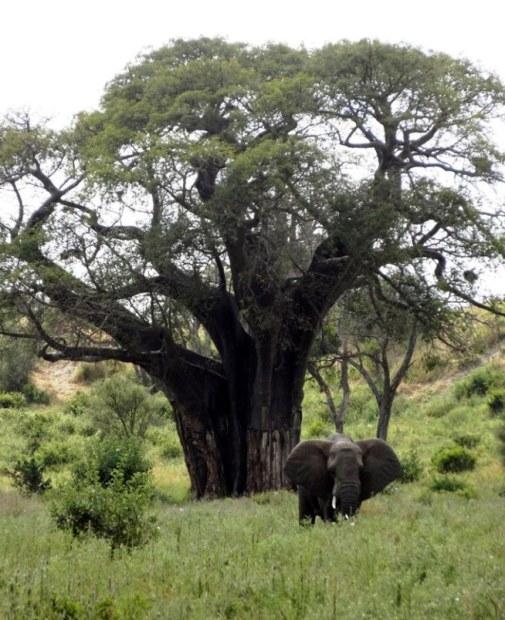 Baobab with elephant Photo Louise McDaid