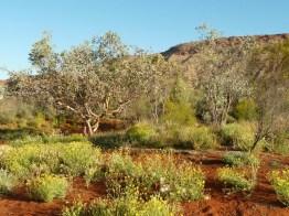 Arid garden in Central Australia
