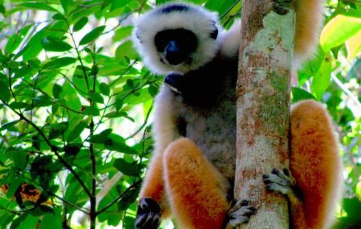 Diadem Sifaka, AndasibeNP, Madagascar