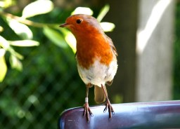 English robin in a UK garden