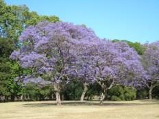 Jacaranda, Argentina