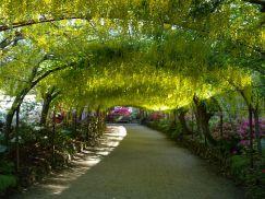 Laburnum Arch, Bodnant Garden in Wales, UK