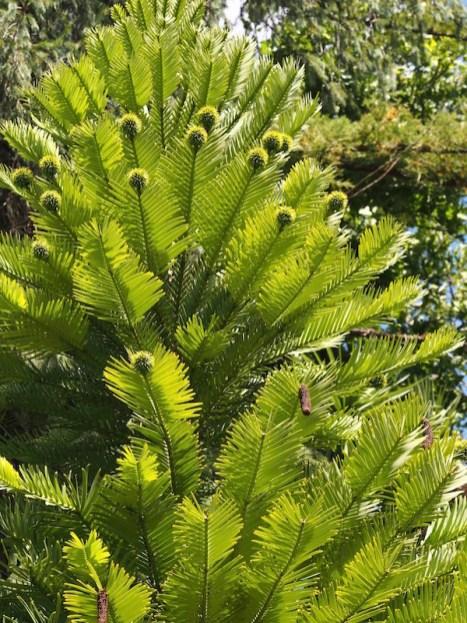 Rare Wollemi Pine Hobart Botanic Garden
