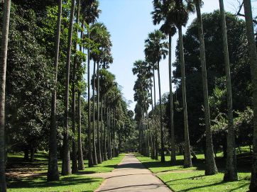 Sri Lanka, Kandy -Peradeniya Botanical Garden's Avenue of Palms