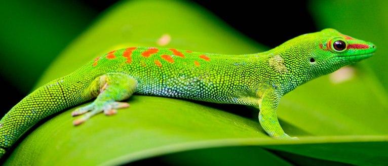 Geckos (Gekkonidae family) are widespread in Madagascar.