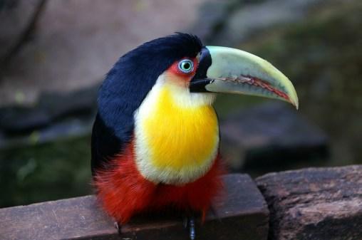 Brazil's colourful birds