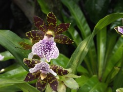 Beautiful orchid in the Singapore Botanic Gardens