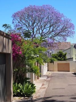Jacaranda in Sydney, late spring