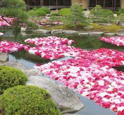 Floating pink peonies