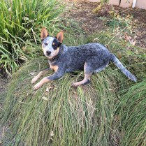 Wallaby the cattle pup