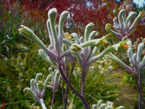 Anigozanthos flavidus - kangaroo paw Landscape Violet