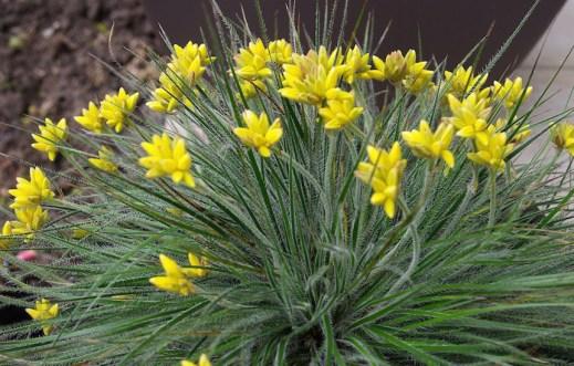 Conostylis setigera 'Lemon Lights' growing in a pot