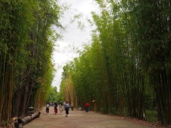 Bamboo groves. China