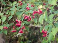 Stunning small red flowers in Vallea stipularis