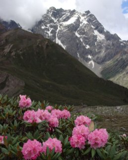 Beautiful pink rhododendron growing wild in Yunnan