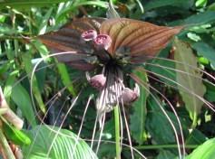 Bat flower in Kinabalu Park