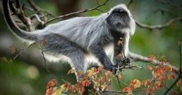 Silvered leaf monkey (langur)