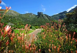 Kirstenbosch National Botanical Garden is considered one of the most beautiful botanic gardens in the world. It was established in 1913 on land left to the nation by Cecil Rhodes to protect the immense floral wealth of the Cape region.