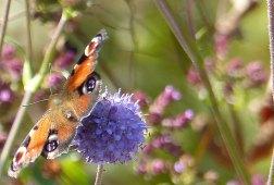 Tokachi Millennium Forest, in the Meadow Garden designed by Dan Pearson. Butterfly on Scabiosa flower. Photo: Helen Young