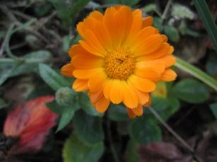 Ringelblume_orange