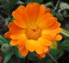 Ringelblume_orange