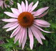 Rosa_Echinacea