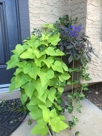 Sweet Potato Vine, Vinca, and Lobelia