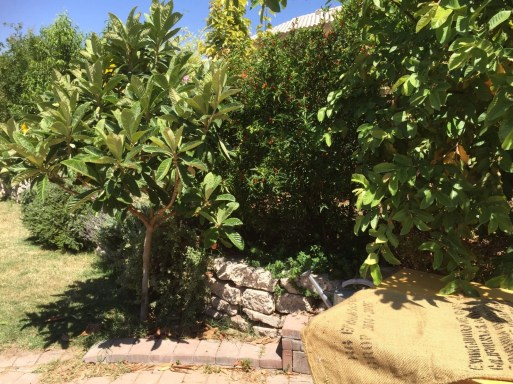 Growing behind the Loquat
