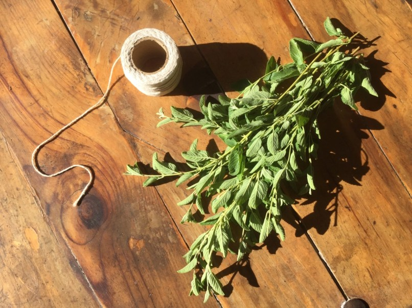 Tying up Mexican Oregano to dry