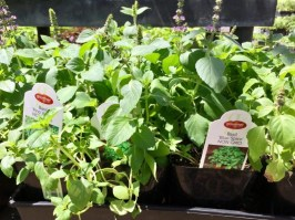 Nursery plants for arizona bees—basil
